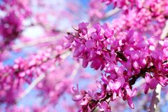 Image of Spring pink blossoms tree. selective focus photo stock image