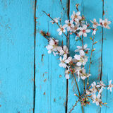 Image of spring white cherry blossoms tree on blue wooden table Royalty Free Stock Images