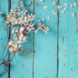 Image of spring white cherry blossoms tree on blue wooden table. vintage filtered image Royalty Free Stock Image