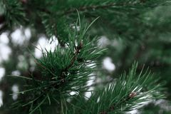An image of a spruce branch close-up stock photo