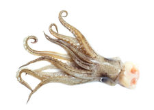 Image of squid isolated Stock Images
