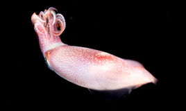 Image of a Squid at night in the ocean. Stock Photos