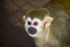 Image of a squirrel monkey in the cage. Stock Photography