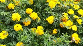 This image is sri lanka yellow flowers stock photography