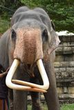 Sri Lankan Elephant from dalada maligawa Kandy royalty free stock photo