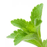 Image of Stevia Rebaudiana. Stevia Rebaudiana - natural sweetener close up of the leaves isolated on white background Stock Image