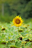 Image of sunflowers in the field close up Stock Image