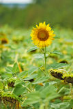 Image of sunflowers in the field close up Royalty Free Stock Photography