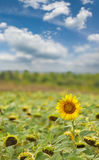 Image of sunflowers in the field close up Royalty Free Stock Image