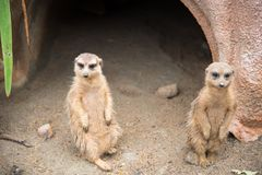 Image of a Suricate or meerkat Suricata suricatta family on na. Ture background Royalty Free Stock Image