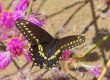 Close up of a swallowtail butterfly. An image of a swallowtail butterfly with dark background and side lighting royalty free stock image