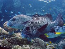Image of sweetlips on Great Barrier Reef. Image shows group of sweetlips fish on coral reefs on the Great Barrier Reef in Australia Royalty Free Stock Images