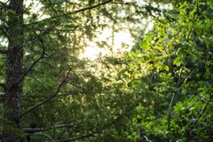 In the Pines. Image taken near sunset, near Rye Colorado.  I really liked how the sun comes through the branches of the pines and other native vegetation, and Royalty Free Stock Photos