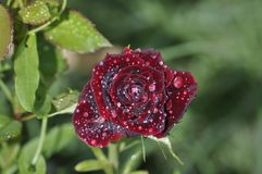 Front view of dark red rose with dew drops royalty free stock images