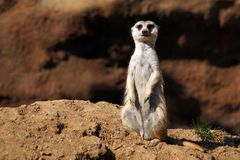 Suricate on watch in Zoo Jihlava. Image taken in the Zoo Jihlava, Suricate is on his watch. Created environment to look like their home stock photos