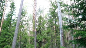 Image of tall trees found in the forest stock video footage