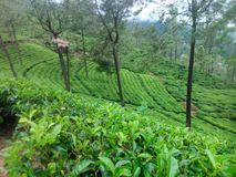 This image is tea garden and mountans stock photo
