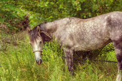 Image tethered horse grazing in a grove Stock Images