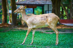 This image is about thai antelope, bangkok thailand Stock Image