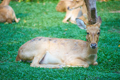 This image is about thai antelope, bangkok thailand stock images
