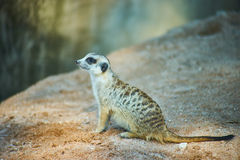 This image is about thai Meerkat, bangkok thailand Royalty Free Stock Photos