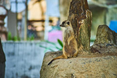 This image is about thai Meerkat, bangkok thailand Stock Images