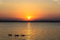 Three ducks on a lake at sunset royalty free stock photos