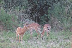 A GROUP OF IMPALA ANTELOPE GRAZING WITH THE BULL ON ALERT royalty free stock photos