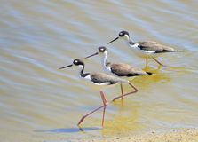 Close of stilts wading on water. An image of three stilts wading on the water with sun shining on them Royalty Free Stock Photography