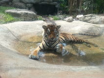 Image of tiger relaxing in water. Royalty Free Stock Photography