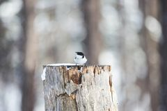 Image of tiny bird Marsh Tit or Poecile palustris sitting on the stump and pecking seeds in the winter forest.  royalty free stock images