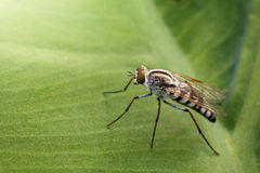 Image of Tiny Robber Fly Asilidae on a green leaf. Stock Image