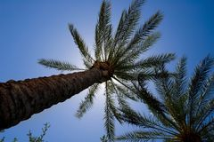 An image of the tops of palm trees Royalty Free Stock Photography