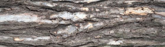 Panoramic photo of relief texture of the bark of pine. Royalty Free Stock Photo