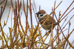 Eurasian tree sparrow, passer montanus Royalty Free Stock Photos