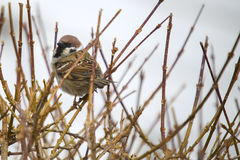 Eurasian tree sparrow, passer montanus Royalty Free Stock Images