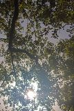 SUN SEEN THROUGH FOLIAGE OF A TREE. Image of a tree with a sunburst peering through the branches in a park in summer stock images