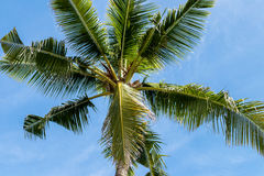 An image of tropical palm tree in the blue sunny sky on paradise island Bali, Indonesia. Royalty Free Stock Image