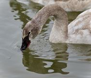 Image of a trumpeter swan drinking water from lake. Picture with a trumpeter swan drinking water Stock Images