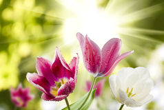 Image of tulips against the sun Stock Photography
