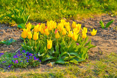 Image of tulips flowers in the park Royalty Free Stock Photos
