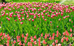 Image of tulips flowers in the park Royalty Free Stock Image