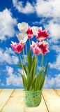 Image of tulips in a pot Royalty Free Stock Image