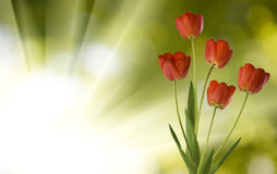 Image of tulips on reen background close-up Royalty Free Stock Photography