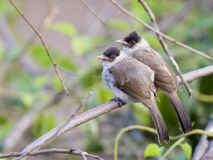 Image of two birds perched on the branch in the wild. Sooty headed bulbul royalty free stock images