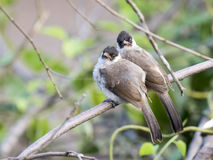 Image of two birds perched on the branch in the wild. Sooty headed bulbul Stock Images