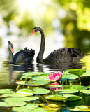Image of two black swans in the park close-up stock photo
