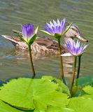 Image of two chicks in the water close-up Royalty Free Stock Photo