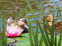 Image of two chicks in the water close-up Stock Photography