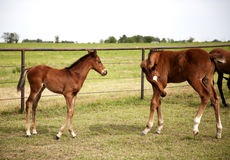 Image of two foals grazing playing on green meadow Stock Images